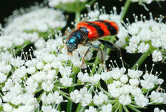 Bright Bee beetle (Trichodes apiarius). Bright striped Bee beetle (Trichodes apiarius) on a flower Stock Photography