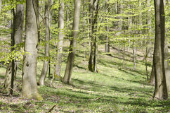 Bright beech forest in spring Royalty Free Stock Photos