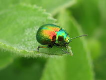 Bright beetle. A bright green beetle sits on the leaf edge Royalty Free Stock Image