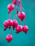 Bright Berries. Bright red berries hanging on a tree against a blue background Stock Photos