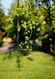Bright Birch Branches With Green Leaves In Afternoon Sunlight Royalty Free Stock Photo