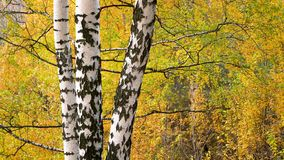 Birch in autumn park. Bright birch tree in autumn park stock video footage