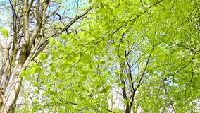 Bright birch tree leaves blowing in the wind, footage. Fresh, bright birch tree leaves blowing in the wind, footage stock video