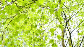 Bright birch tree leaves blowing in the wind, footage. Fresh, bright birch tree leaves blowing in the wind, footage stock video footage