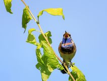 Bright bird, the Bluethroat sings the song in the spring forest Royalty Free Stock Image