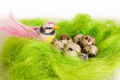 Bright bird sitting in a nest basket with quail eggs Stock Photos