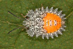 Bright and bizarre bug larva. Stock Photography