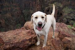 Bright blonde labrador retreiver dog Stock Photos