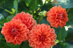 Bright blooming Dahlia in the garden. Red orange dahlias blooming in the garden Stock Image