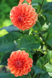 Bright blooming Dahlia in the garden. Red orange dahlias blooming in the garden Royalty Free Stock Photo