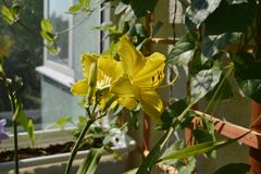 Bright blooming daylily in cozy garden on the balcony. Yellow flowers in sunny summer day.  royalty free stock images