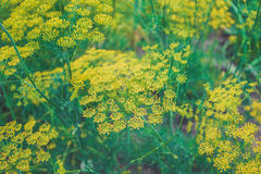 Bright blooming dill Stock Photo