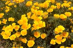 Bright blooming eshsholtsiya. Are outdoors Stock Photos