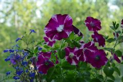 Bright blooming petunia flowers would make your balcony a small urban garden. Nature in home royalty free stock image
