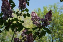 Bright blooming purple lilac flowers and green leaves in the garden. Shallow depth of field. Selective focus royalty free stock photo