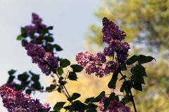 Bright blooming purple lilac flowers and green leaves in the garden. Shallow depth of field. Selective focus royalty free stock photos