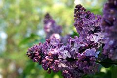 Bright blooming purple lilac flowers and green leaves in the garden. Shallow depth of field. Selective focus stock images