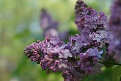 Bright blooming purple lilac flowers and green leaves in the garden. Shallow depth of field. Selective focus stock image