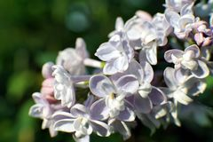 Bright blooming purple lilac flowers and green leaves in the garden. Shallow depth of field. Selective focus royalty free stock images