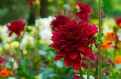 Bright blooming red chrysanthemum on a background of beautiful blurred garden background. Royalty Free Stock Photo