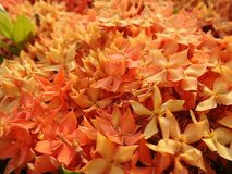Bright blooming red flame of the woods flower background. Blooming red Ixora in evergreen shrub brighten the garden in hot shiny summer in Thailand royalty free stock images
