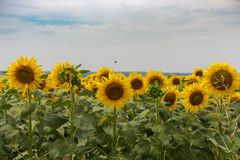 Bright blooming sunflowers meadow. Yellow sunflowers with green leaves closeup. Field of sunflowers. stock photography