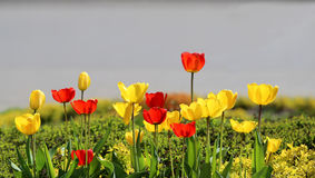 Bright blooming tulips Royalty Free Stock Images