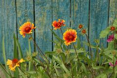 Bright blossoming flowers on a flower bed near a fence. Field flowers and grass near the green wooden fence Royalty Free Stock Photos