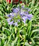 Bright blue Agapanthus africanus Royalty Free Stock Image