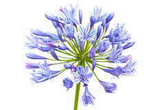 Bright Blue Agapanthus Flower Stock Image