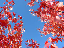 Bright blue autumn sky and tree branches. Bright blue autumn sky framed by fiery red leaves on tree branches Royalty Free Stock Photography