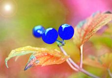 Bright blue berries cling to a tiny branch - added abstract colors royalty free stock photography