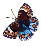 Bright blue-and-brown butterfly with orange eyes 8. And patterned contour, white dots and orange stripes, disclosed watercolor painting Stock Image