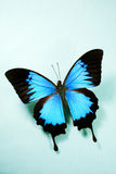 Bright Blue Butterfly Royalty Free Stock Images
