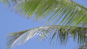 Leaves of Palm Trees against the Blue Sky. Slow Motion. Bright blue cloudless sky. The long leaves of the coconut palm are trembling on the wind. Close-up. Slow stock video footage