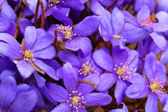 The bright blue colors of the common liver are pleasing to the eye after a long winter. Noble liver, or Common liver lat. Hepatica nobilis - perennial herbaceous stock images