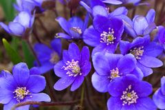 The bright blue colors of the common liver are pleasing to the eye after a long winter. Noble liver, or Common liver lat. Hepatica nobilis - perennial herbaceous stock photo