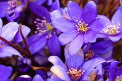 The bright blue colors of the common liver are pleasing to the eye after a long winter. Noble liver, or Common liver lat. Hepatica nobilis - perennial herbaceous stock photography