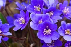 The bright blue colors of the common liver are pleasing to the eye after a long winter. Noble liver, or Common liver lat. Hepatica nobilis - perennial herbaceous royalty free stock photos