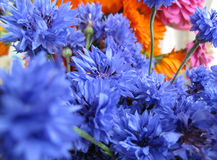 Bright blue cornflowers flowers Royalty Free Stock Images