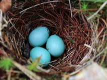 Bright Blue Eggs in the Nest Stock Images
