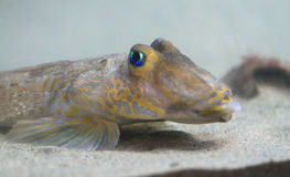 Bright Blue-eyed Bottom Feeder Fish, Northern Ireland Stock Photos
