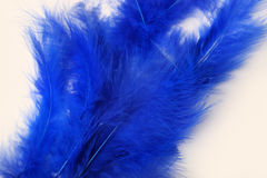 Bright blue feathers on a white background Royalty Free Stock Image