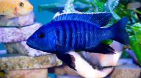 Bright Blue fish. In the aquarium Royalty Free Stock Image