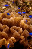 Bright blue fish and sea anemone. Luminous blue fish swimming above sea anemone in the tropical seas of The Philippines Stock Images