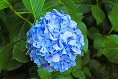 Bright blue flower on a background of green foliage. Bright blue big hydrangea flower on green foliage background on bright summer day royalty free stock photography