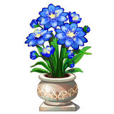 Bright blue flowers in beautiful ceramic pot Stock Images