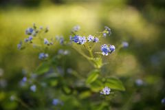 Bright blue flowers. Selective soft focuse and Royalty Free Stock Photography