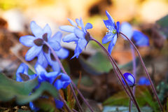 Bright blue Hepatica flowers in the spring forest Stock Photo