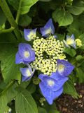 Bright blue hydrangea. With green buds Royalty Free Stock Photos